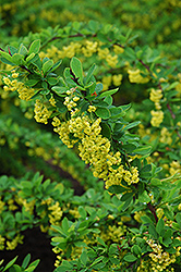 Emerald Carousel Barberry (Berberis 'Tara') at Sherwood Nurseries
