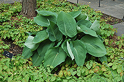 Blue Angel Hosta (Hosta 'Blue Angel') at Sherwood Nurseries