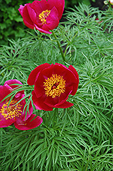 Fernleaf Peony (Paeonia tenuifolia) at Sherwood Nurseries
