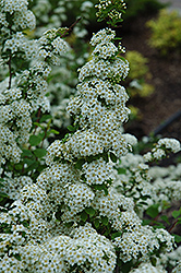 Fairy Queen Spirea (Spiraea trilobata 'Fairy Queen') at Sherwood Nurseries
