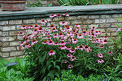 Magnus Coneflower (Echinacea purpurea 'Magnus') at Sherwood Nurseries