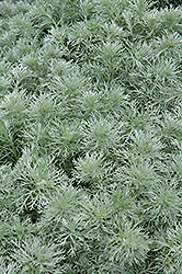 Silver Mound Artemesia (Artemisia schmidtiana 'Silver Mound') at Sherwood Nurseries
