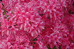 Rosy Lights Azalea (Rhododendron 'Rosy Lights') at Sherwood Nurseries