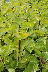 Prairie Fire Dogwood (Cornus alba 'Prairie Fire') at Sherwood Nurseries