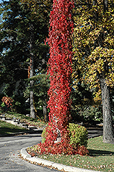 Virginia Creeper (Parthenocissus quinquefolia) at Sherwood Nurseries