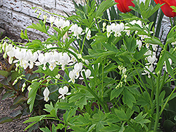 White Bleeding Heart (Dicentra spectabilis 'Alba') at Sherwood Nurseries