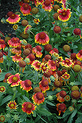 Arizona Sun Blanket Flower (Gaillardia x grandiflora 'Arizona Sun') at Sherwood Nurseries