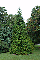 Green Giant Arborvitae (Thuja 'Green Giant') at Sherwood Nurseries