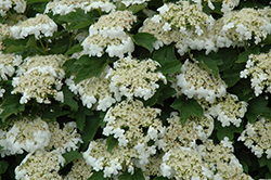 Compact European Cranberry (Viburnum opulus 'Compactum') at Sherwood Nurseries