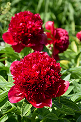 Red Charm Peony (Paeonia 'Red Charm') at Sherwood Nurseries