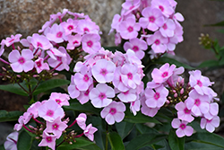 Cotton Candy™ Garden Phlox (Phlox paniculata 'Ditomfav') at Sherwood Nurseries