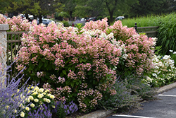 Quick Fire® Hydrangea (Hydrangea paniculata 'Bulk') at Sherwood Nurseries