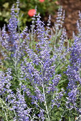 Lacey Blue Russian Sage (Perovskia atriplicifolia 'Lacey Blue') at Sherwood Nurseries